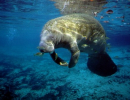 Manatee Health and Conservation (Summer)