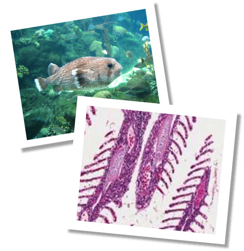 Fish image and histology of gill tissue