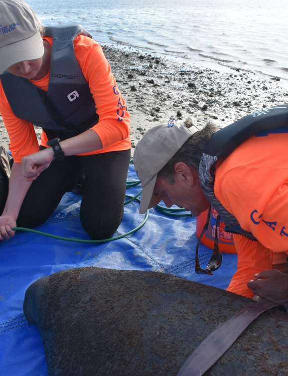 Dr. Walsh and Tatiana on a manatee rescue.