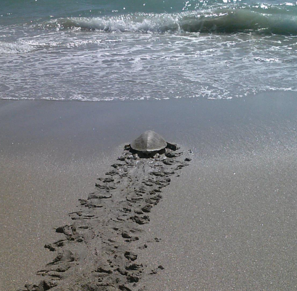 turtle going back to ocean