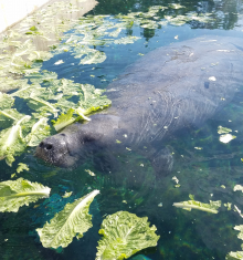 manatee eating