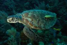 sea turtle and remora