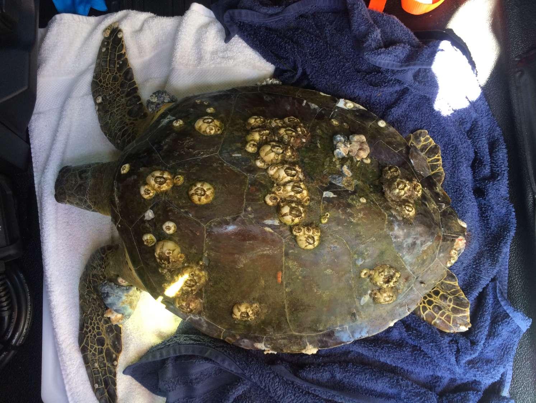 ses turtle