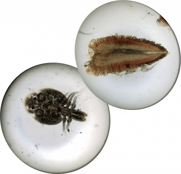fish gill and lice